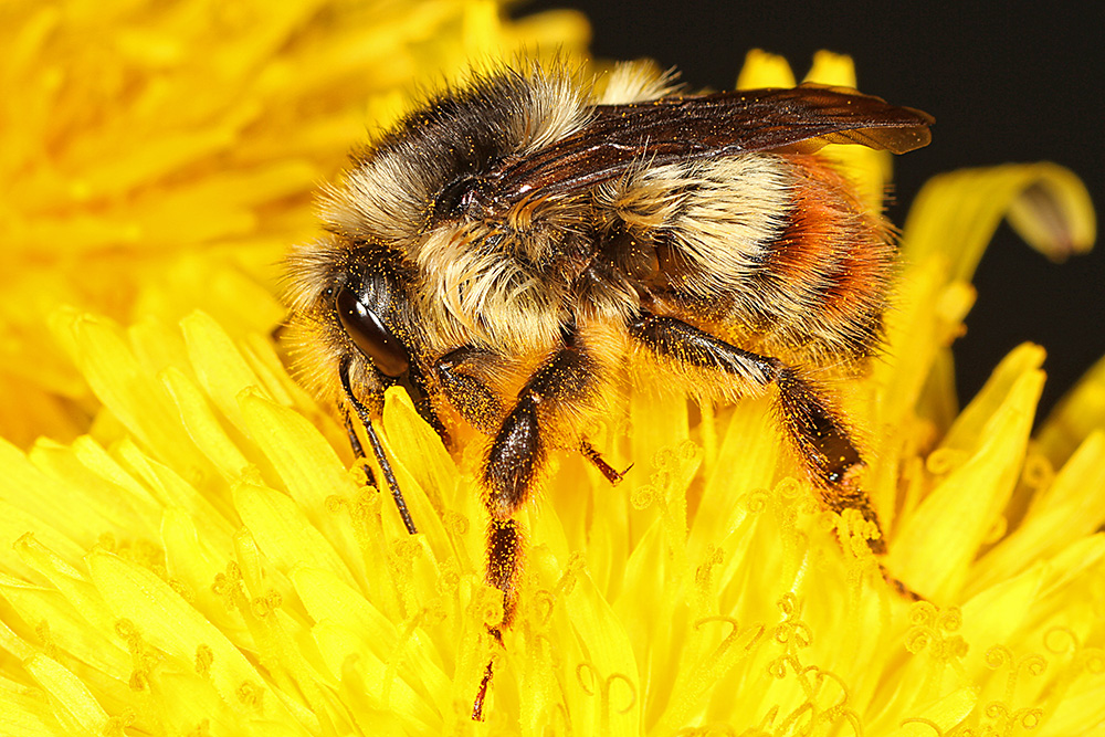 Bombus flavifrons on yellow flower